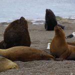 Mamiferos marinos y pinguinos de la Patagonia Argentina